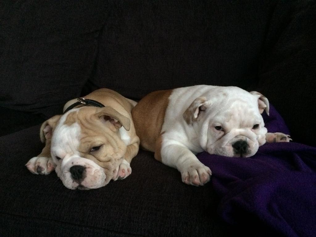 Axle And Suzy Brother Sister Just Little Angles For The Pic Anyway English Bulldog Cute Puppies Real Dog