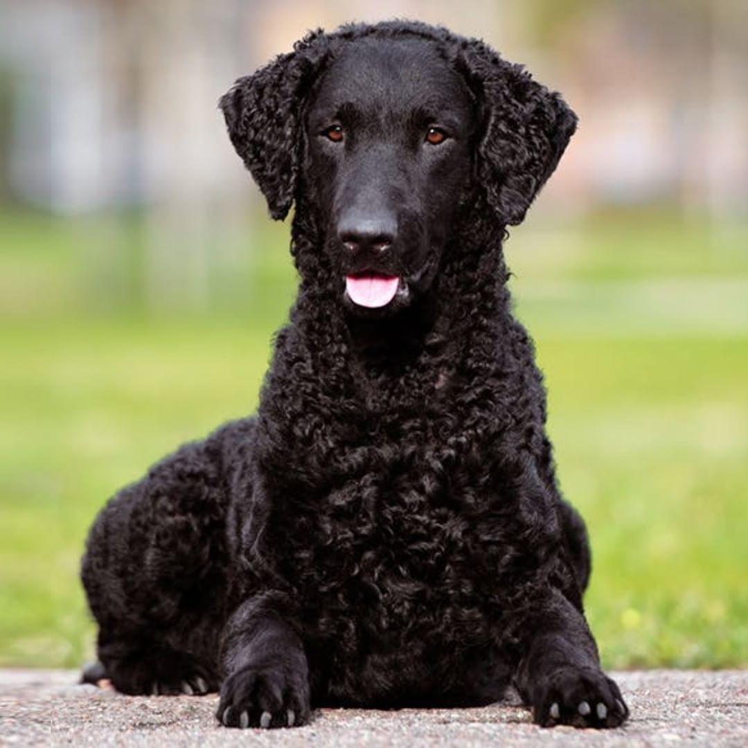 Retrievers Curlyhair Coated Dog Dogsofinstagram Dogs Dogoftheday Evoest Curly Coated Retriever Retriever Dogs