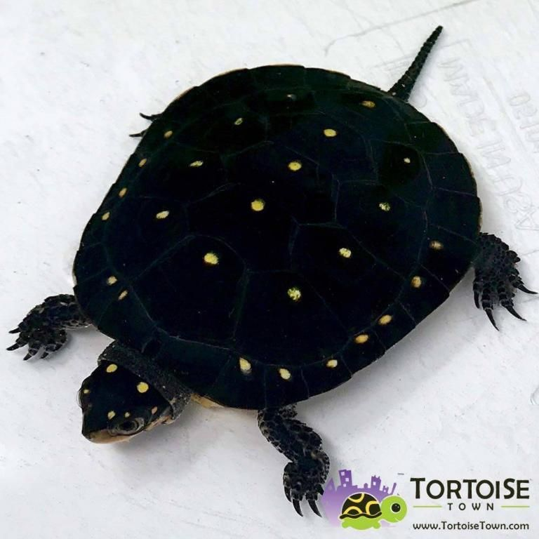 Aquatic Turtles For Sale Live Baby Turtles For Sale My Freshwater Turtle Store Turtles For Sale Aquatic Turtles Baby Turtles