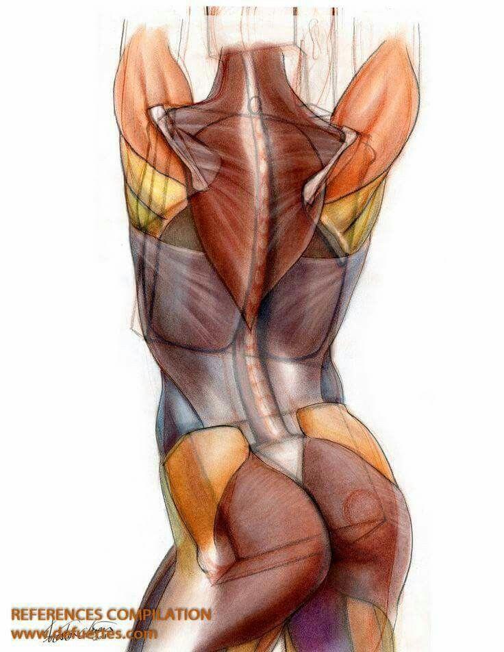 Pin de Елена en Иллюстрации | Pinterest | Anatomía, Musculos del ...
