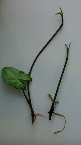 excellent long vine house plant. How to propagate arrowhead vines  House Plants Pinterest and Gardens