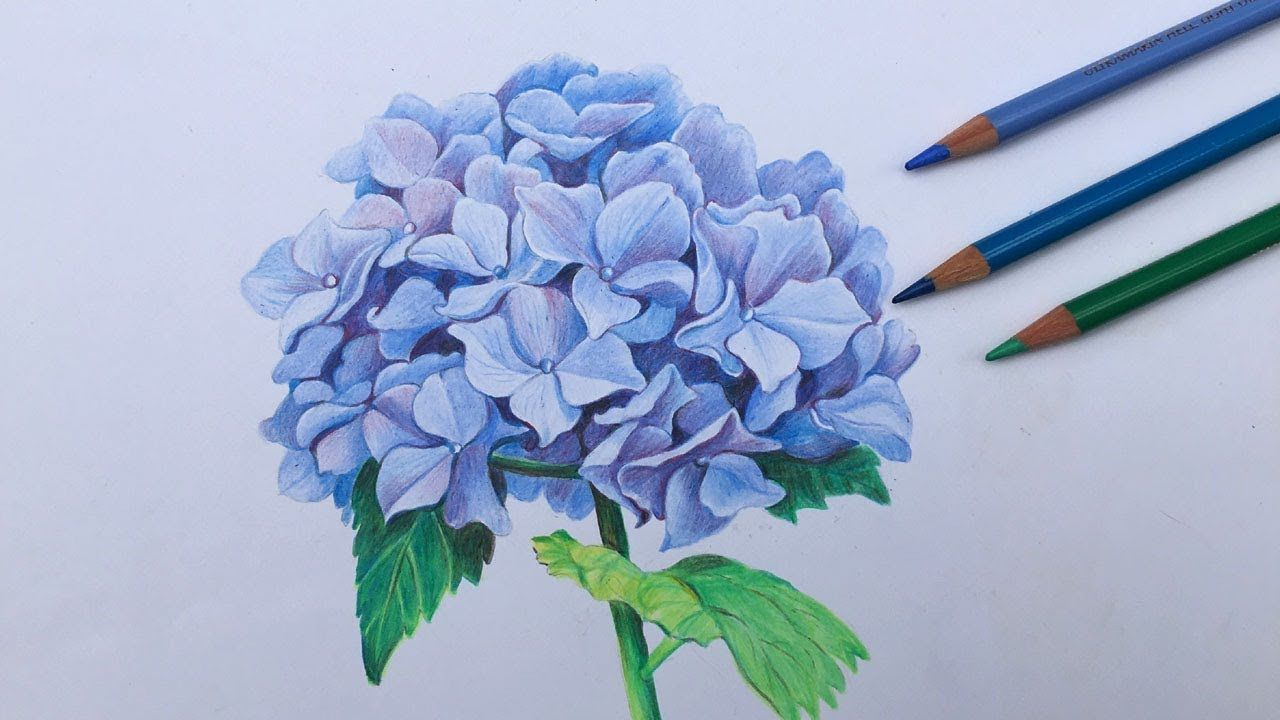 How To Draw A Hydrangea Flower In Color Pencils Flower Painting In Step By Step Youtube In 2020 Flower Art Drawing Color Pencil Art Color Pencil Illustration