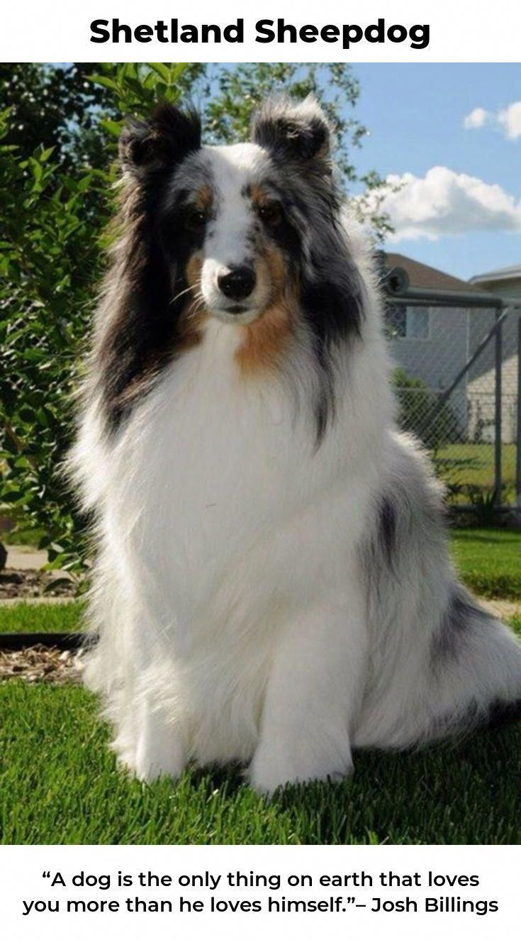 Everything About Shetland Sheepdog Puppies Temperament