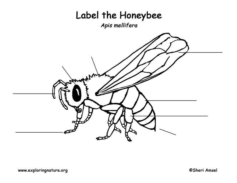 Honeybee Labeling Page   Homeschool Science   Pinterest ...