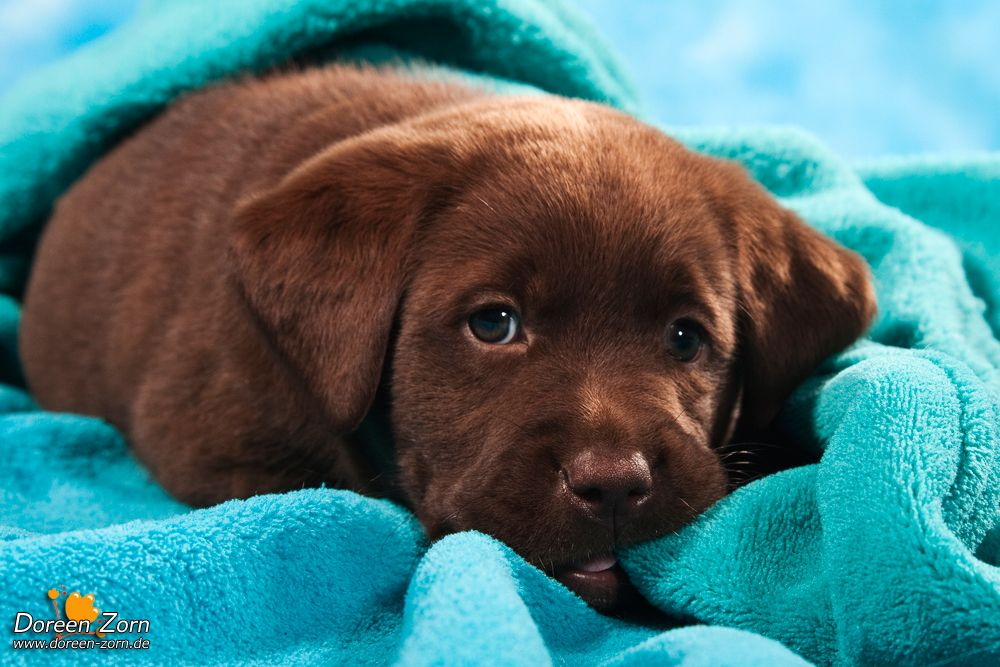 Labrador Retriever Puppy In Blue By Kirikina On Deviantart Lab