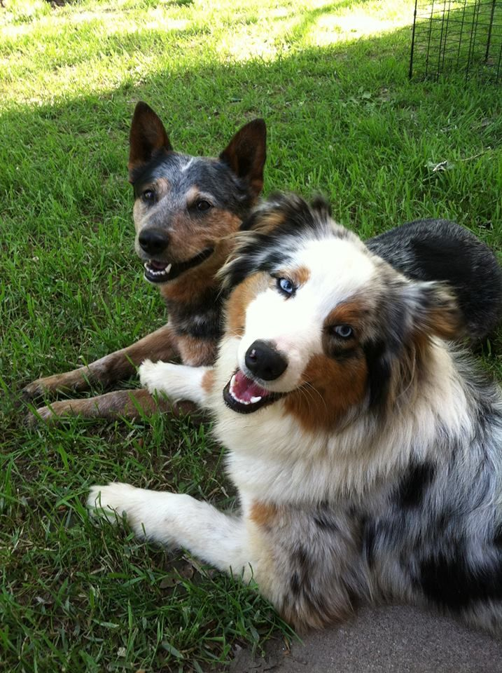 For Those That Refer To These Dogs Collectively As Aussies