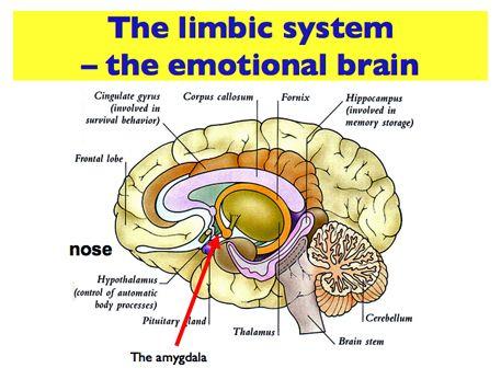 emotion brain - Google Search | Limbic system, Logic and ...