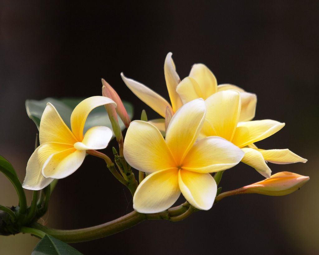 Unduh 4000 Wallpaper Bunga Kamboja HD Terbaik