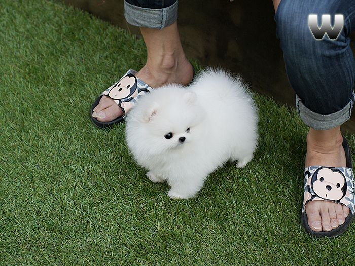 Kelly Pending For Sana In Malaysia Pomeranian Puppy Teacup