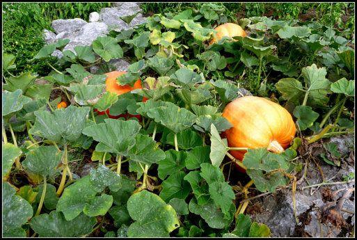 Cómo Sembrar Semillas De Calabaza En El Huerto Pumpkin Garden Growing