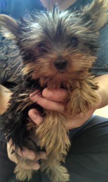 Ckc Yorkie Puppy For Me Pinterest Yorkie Puppy Yorkies And