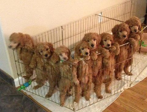 Poodle Puppies Yorkshire Terrier Puppies Stud Service
