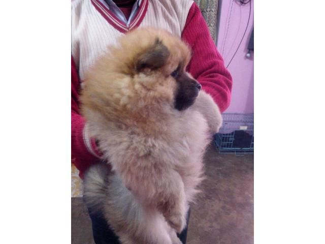 Pomeranian Puppies For Sale Clawsnpawskennel 9830064171 Pomeranian Puppy For Sale Pomeranian Puppy Puppies For Sale
