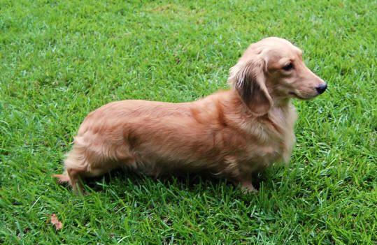 Double Dapple Awareness Unsafe Breeding In The Dachshund