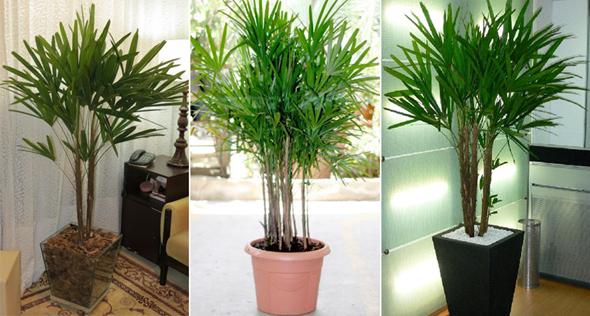 Como cuidar de uma palmeira r fia jardim das ideias - Plantas interior resistentes ...