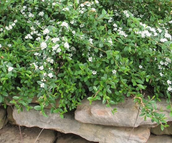 otoneaster is a great groundcover for sun or shade. After spring's white flowers fade, red berries give the branches a festive look, often holding into winter. Here, bearberry cotoneaster 'Lowfast'.