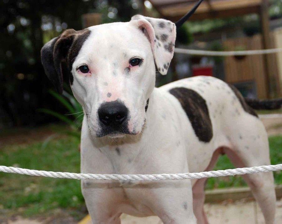 Bull Arab Bull Arab Dog Bully Dog Welsh Sheepdog