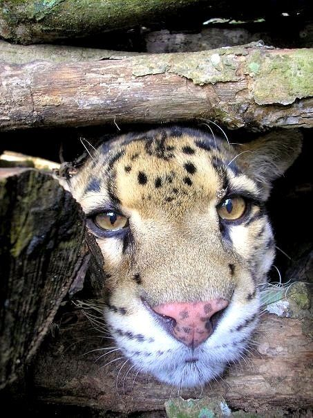 Clouded Leopard. Zoo love. Love that sweet face.