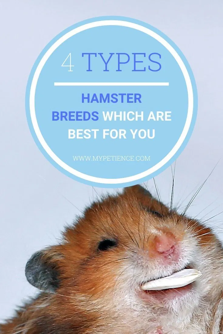 Which Hamster Breeds Are Perfect For You To Keep At Home In 2020