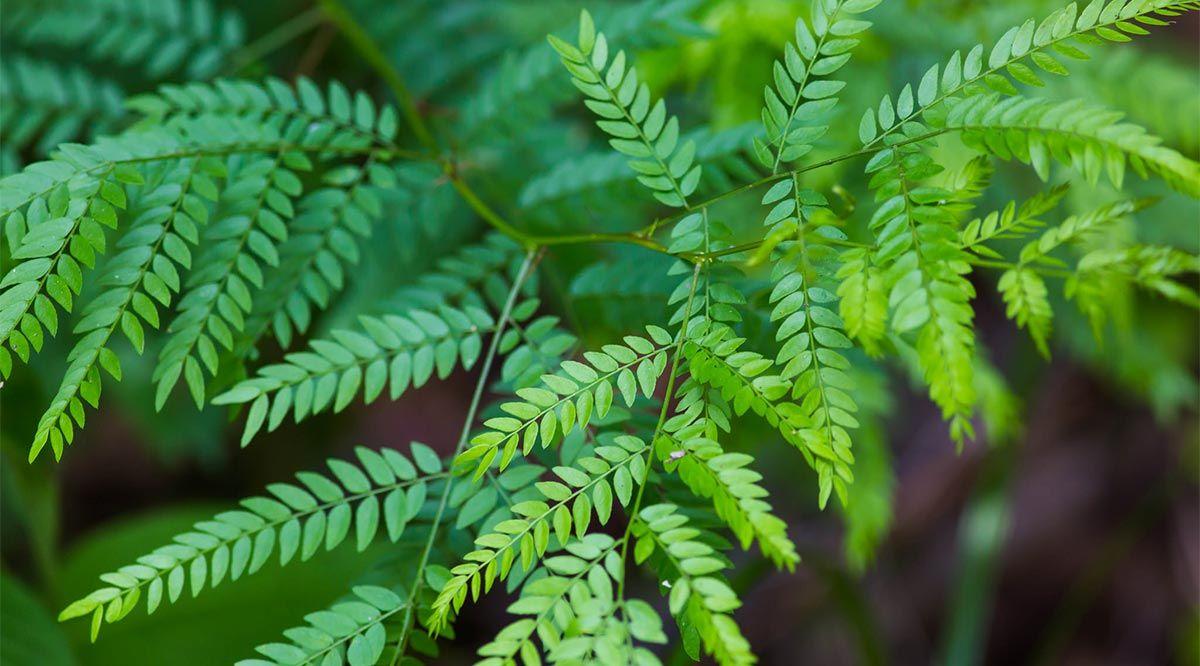 Honey Locust Symbolism Information And Planting Instructions