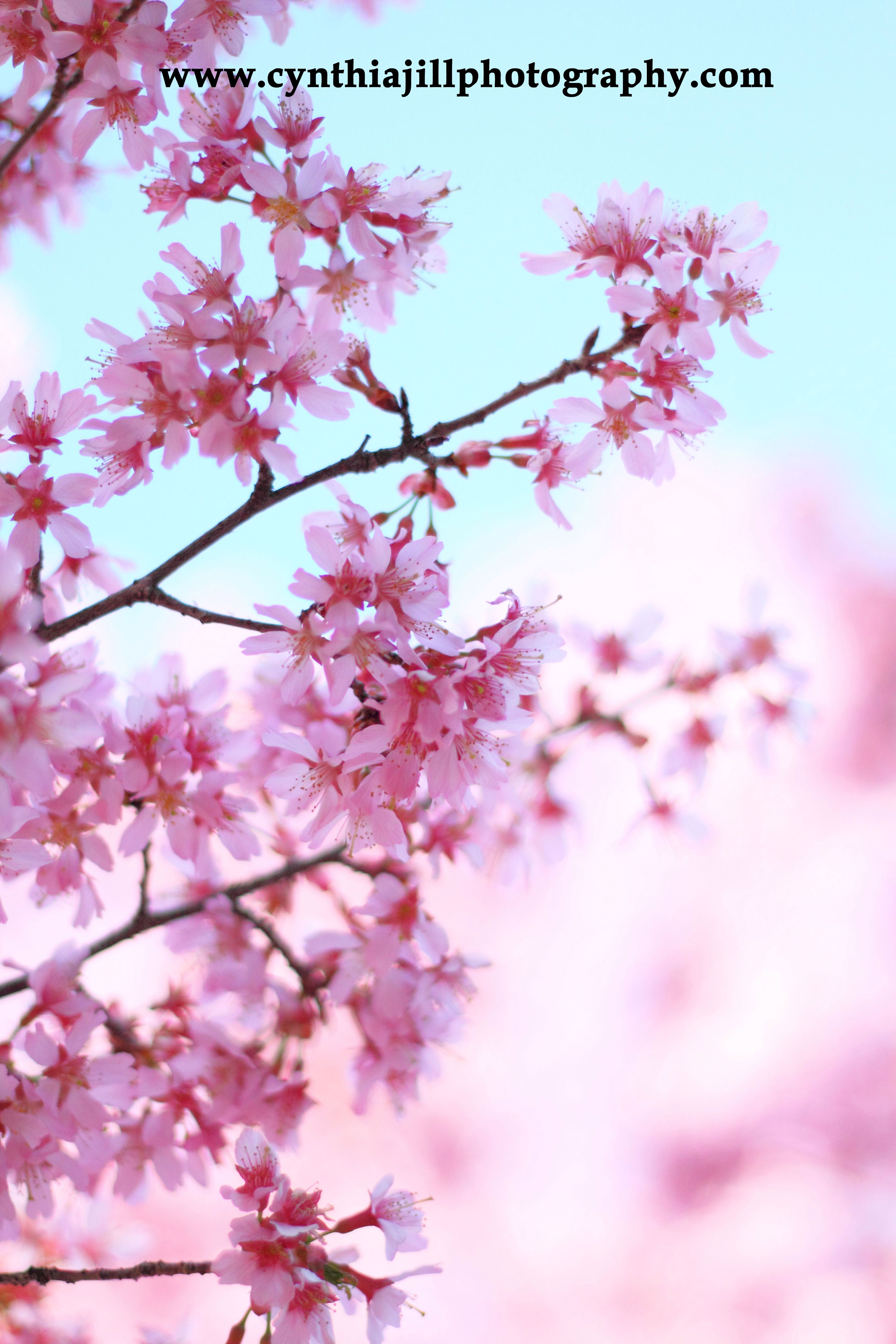 Pretty In Pink I Love Cherry Blossoms Cherry Blossom Flowers Blossom