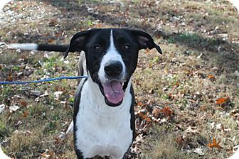 Pittsburg Ks Great Dane Labrador Retriever Mix Meet Shay A