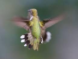 Afbeeldingsresultaat Voor Kolibries