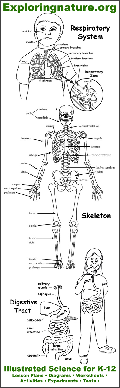 Anatomy Resources From Exploringnature Human Body Anatomy