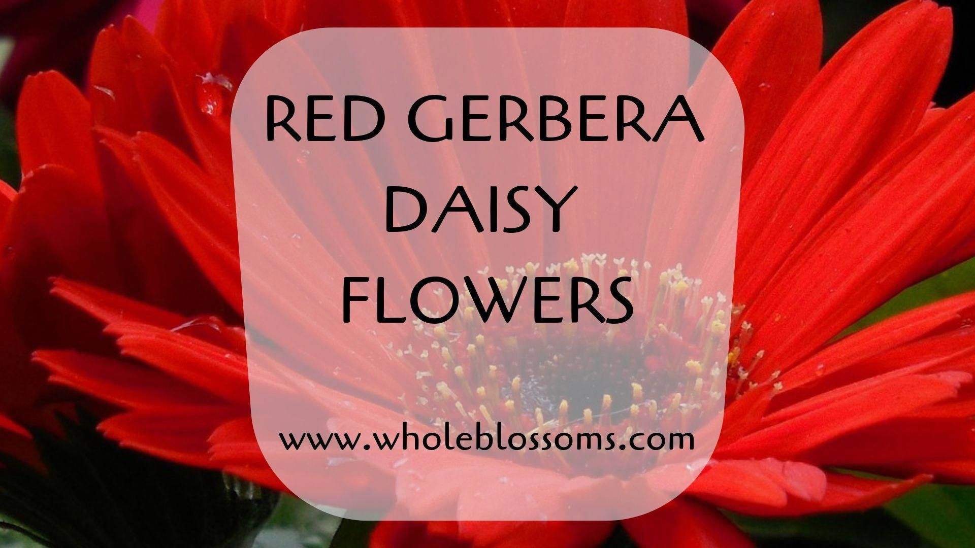 Red Gerbera Daisy gives the stunning attraction in floral designs. They give the beautiful contrast when they are blended with colors like orange gerbera daisy, purple gerbera daisy, white gerbera daisy, pink gerbera daisy, and more. Make the fantastic gerbera daisy wedding bouquet with red gerbera daisy flowers for your wedding. So, purchase gerberas from Whole Blossoms at the wholesale rate. Here you will find many gerbera daisy colors. #fantasticweddingbouquets Red Gerbera Daisy gives the stu #fantasticweddingbouquets