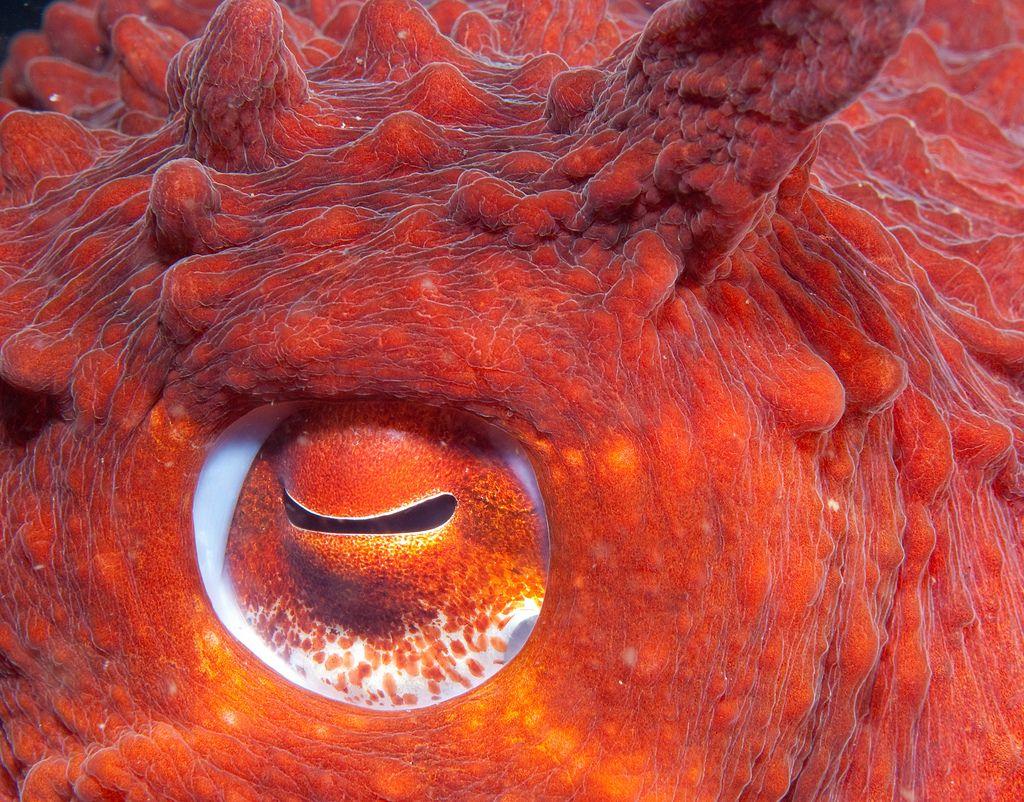 только прекрасная картинки осьминога глаза очень