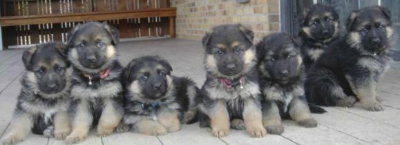 German Shepherd Puppy For Sale In Denver Too Cute German