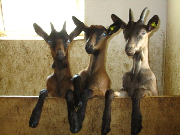#goatvet likes these 3 kids looking out at the world