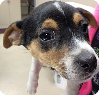 Alabama Crystal Id 21549 Is A 10wk Rat Terrier Mix Puppy Who