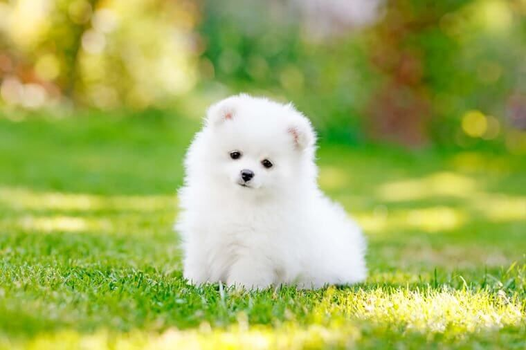 Top 5 Things You Need To Consider Before Getting A Puppy Teacup