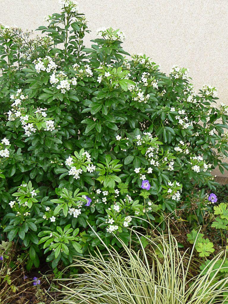 g ranium vivace et oranger du mexique fleuris comme au printemps. Black Bedroom Furniture Sets. Home Design Ideas