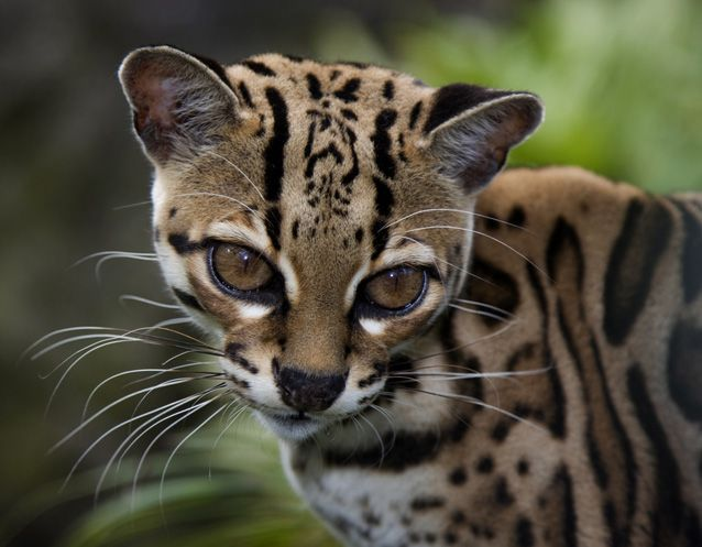 5 wild cats you've probably never heard of Small wild cats Sand cat Margay cat