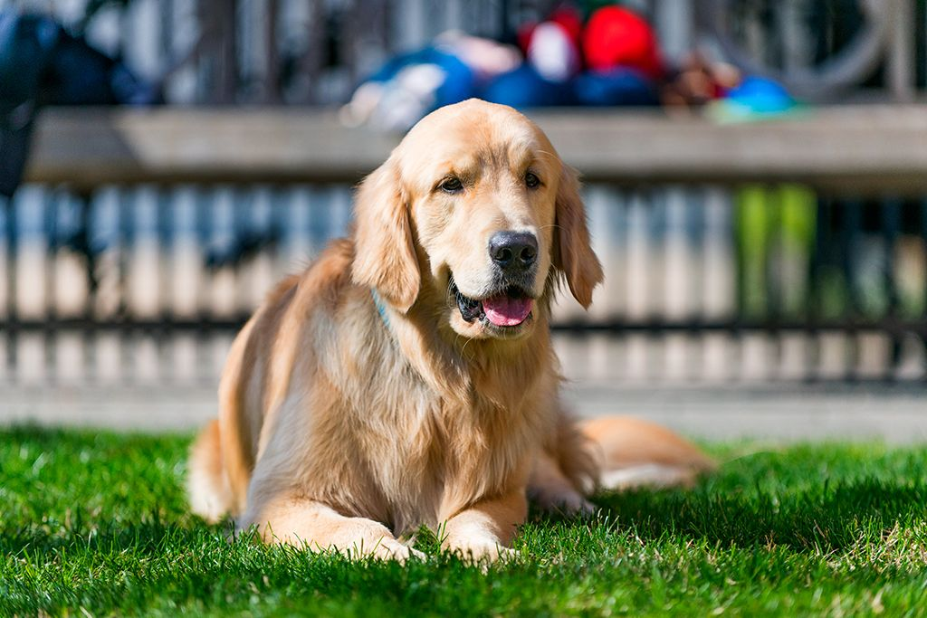 Golden In His Glory Dogsofmecox Doglover Mecox Houston Woody