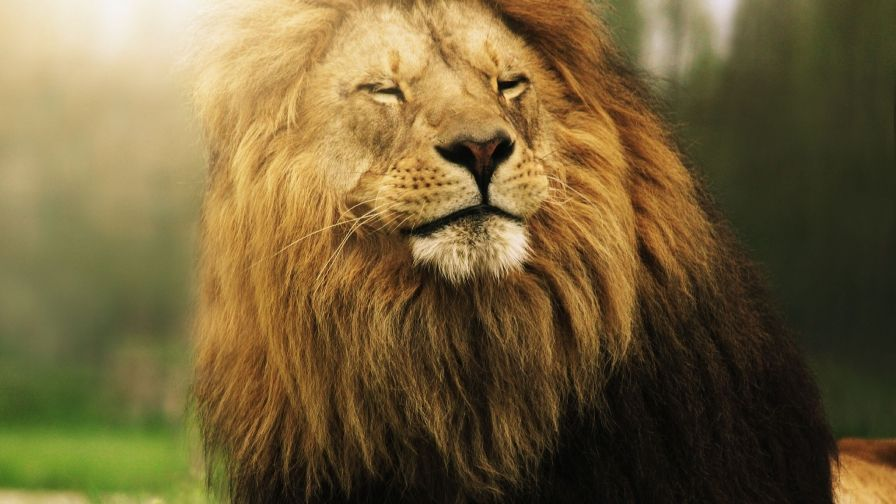Beautiful Lion Hd Wallpaper Download High Variety With Images