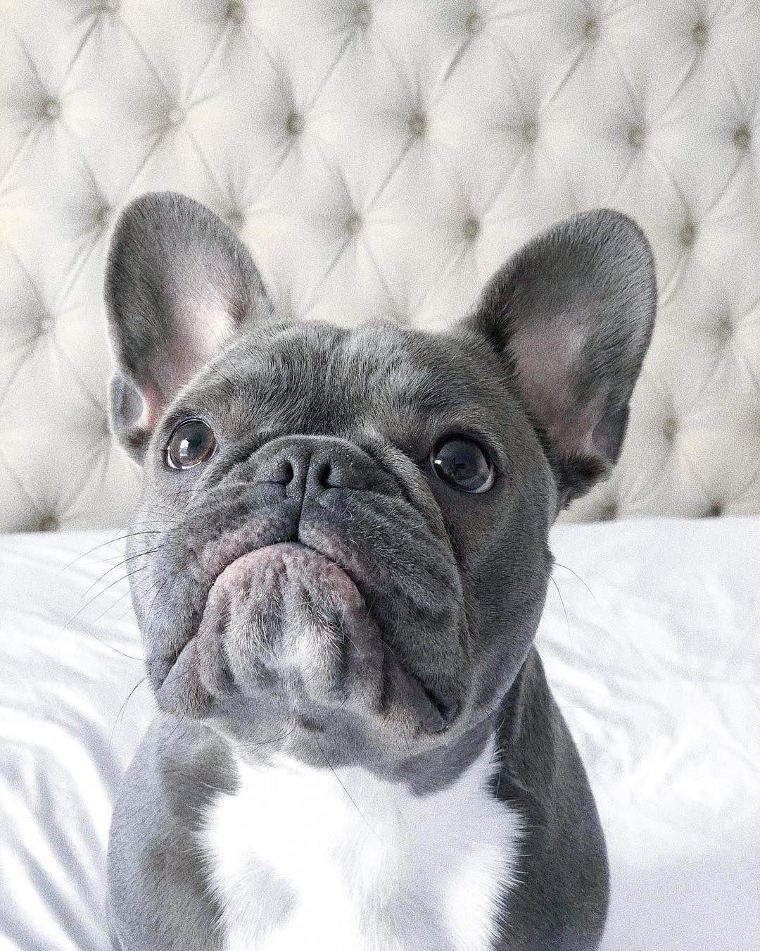 Pin by Bella Boo on French bulldogs are amazing! in 2020