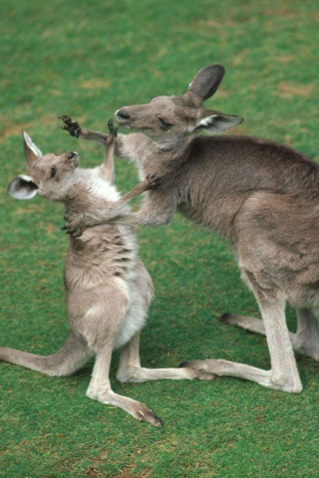 ouch, stop it...... Animals, Animal wallpaper, Kangaroo