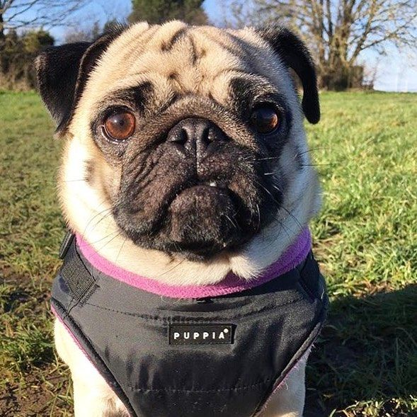 Puppia Black Mountaineer Coat Available At Www Ilovepugs Co Uk