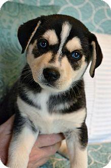 Hagerstown Md Siberian Husky Labrador Retriever Mix Meet Kaya
