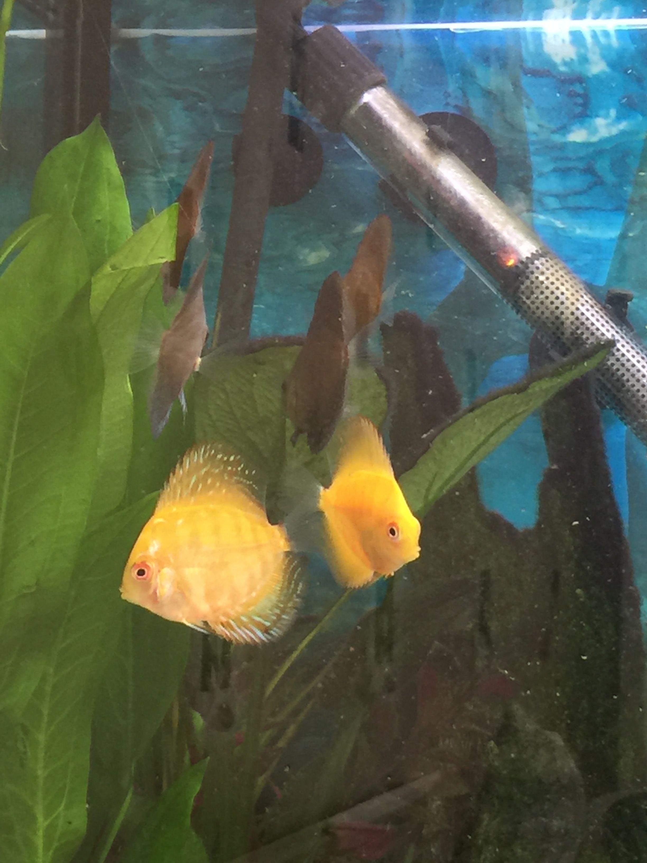 My Baby Discus So Tiny Fish Pet Tropical Fish Discus Fish