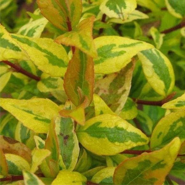 Abelia X Grandiflora Frances Mason Plants Yellow France Color