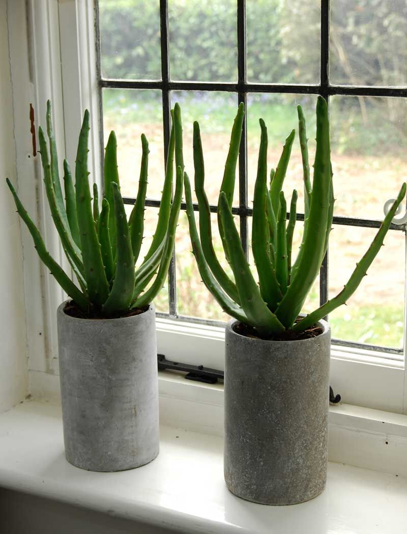aloe planted in a tall grey stone pot rustikk interi r pinterest tall greys and aloe. Black Bedroom Furniture Sets. Home Design Ideas