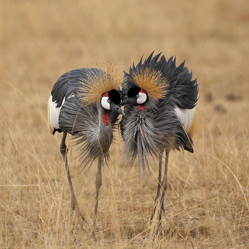 1X - Grey crowned-crane courtship by Maurizio Lanini
