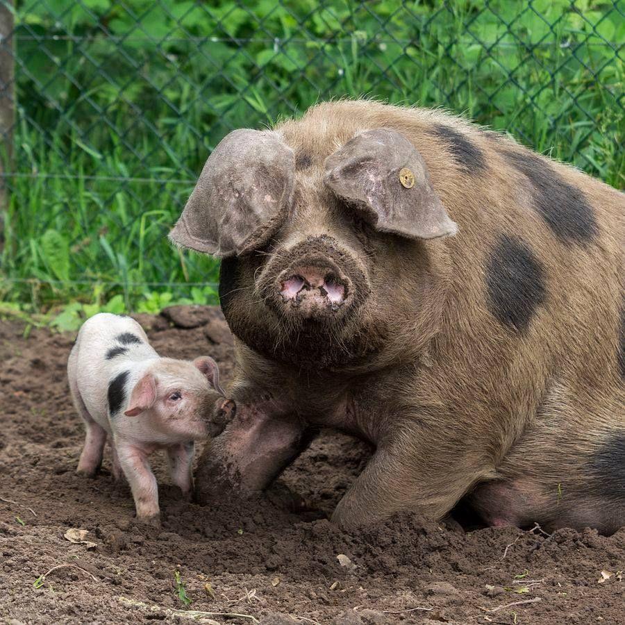 By Gert van den Bosch Baby pigs, Cute animals