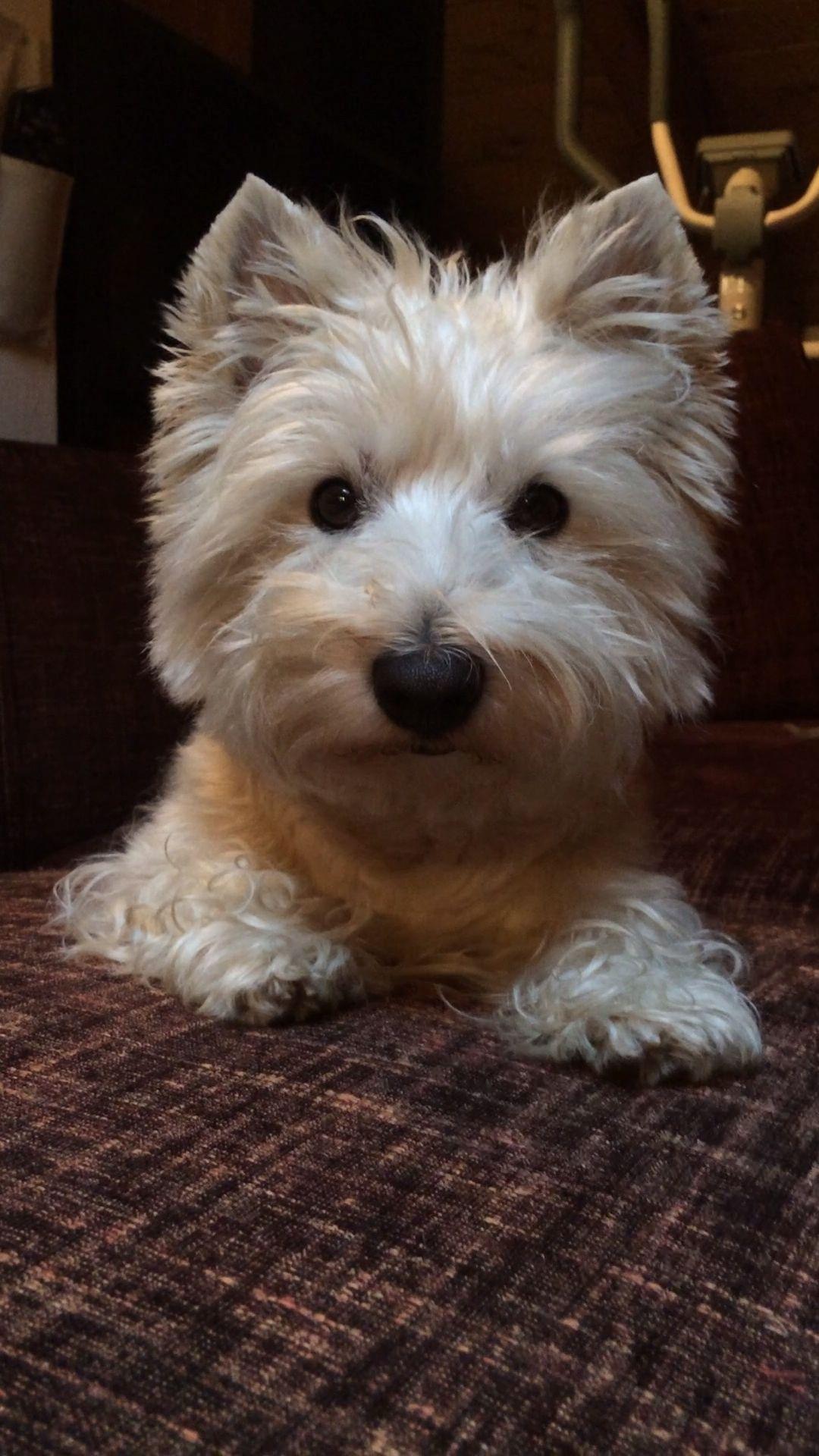 Pin By Annie B On Fur Babies Westie Puppies West Highland