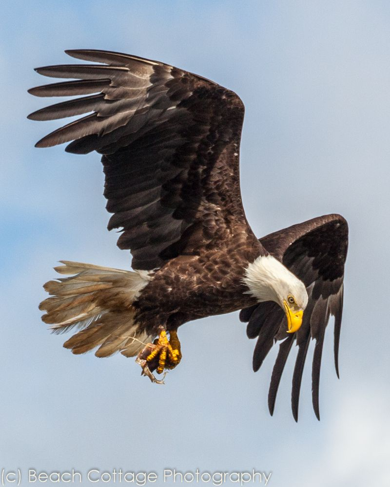 A bald eagle has just picked up food and is flying away
