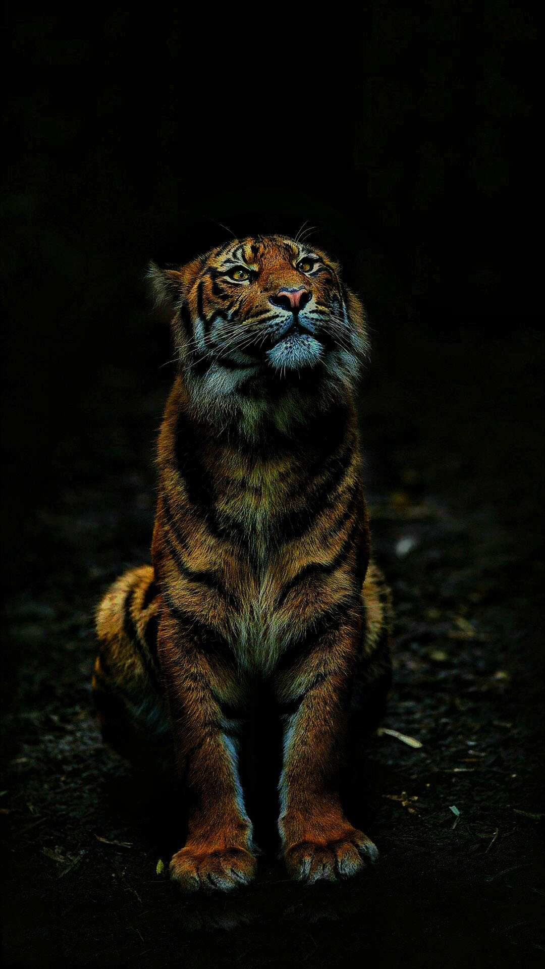 Tiger In Dark Iphone Wallpaper Tiger Pictures Endangered